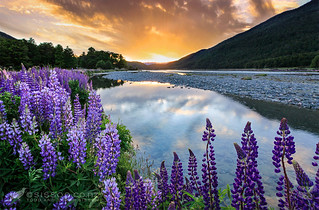 Lupins at sunset beside Hollyford River, Fiordland, New Zealand