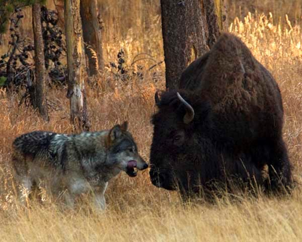 yellowstone-wolves-bison
