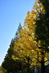 Ginkgo trees in Kawasaki City 2018/11 No.1.