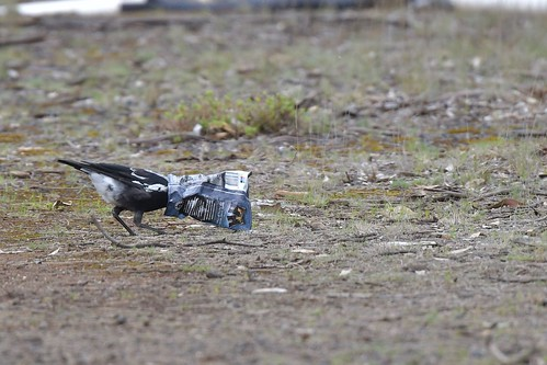 Australian Magpie ( at play )
