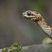 Rough-scaled Bush Viper by Matthieu Berroneau