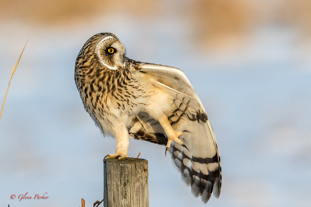 Short-eared Owl _IMG_1232_18-11-16