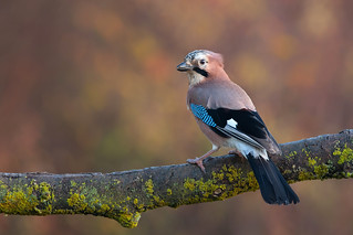 Eurasian Jay (Garrulus glandarius) | by Wildlife Photography by Matt Latham