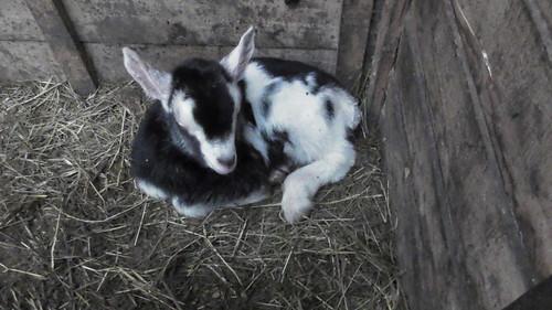 baby goat Jan 19 (3)