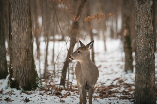 Deer at Wild River State Park, Minnesota