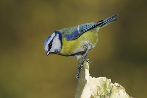 barnwellcountrypark nature wild bird wildlife woodland bluetit cyanistescaeruleus