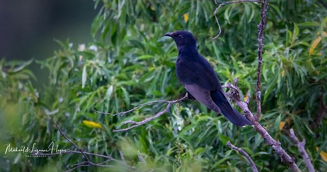 Cuckoo Black
