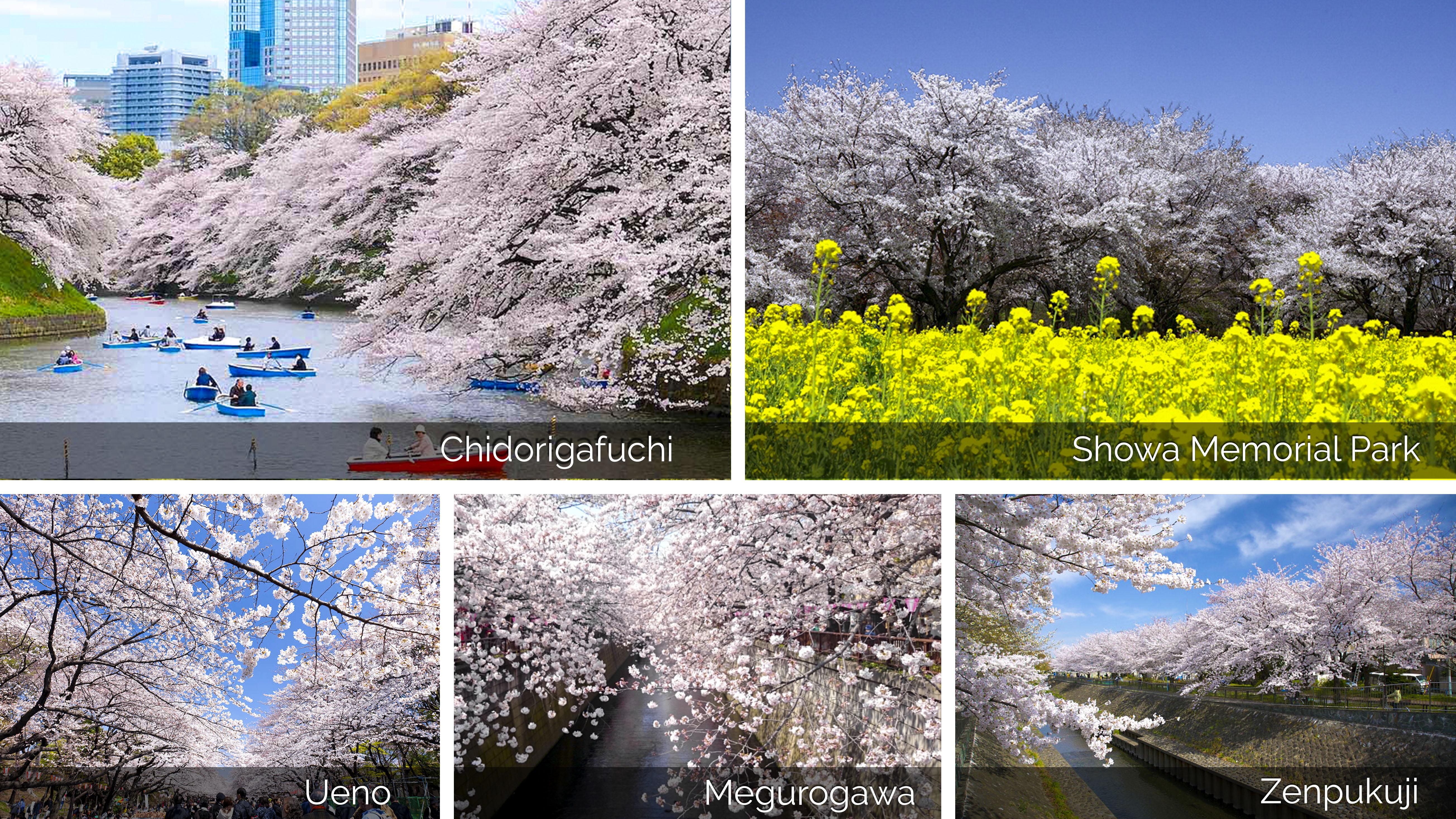 11 điểm ngắm hoa anh đào nổi tiếng Tokyo-2