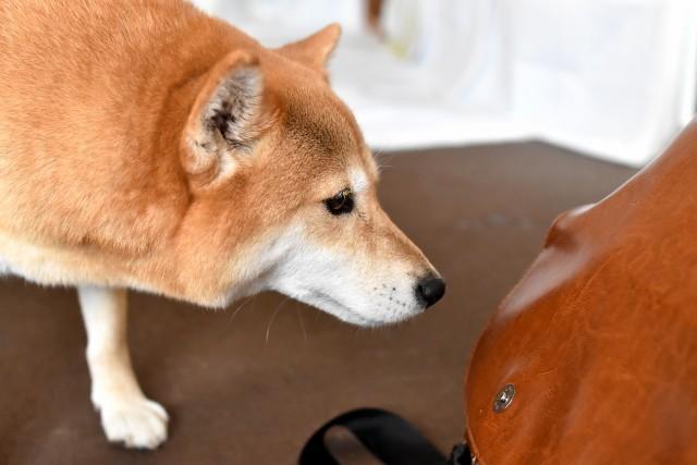バッグをイタズラしようとしている犬