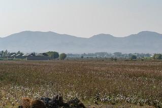 Baumwollfeld an der Straße zwischen Samarkand und Buchara