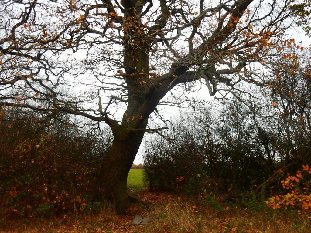 Bent tree Totteridge Circular