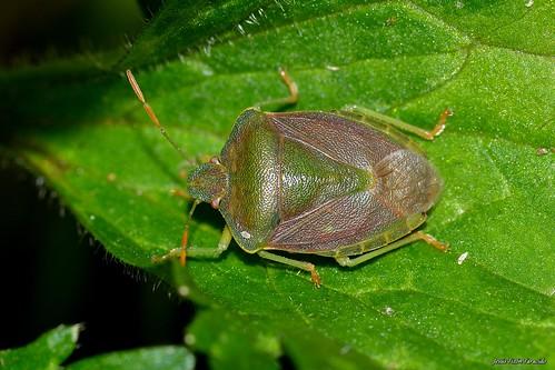Palomena prasina (Linnaeus 1761)