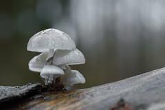 zwammen - fungi