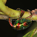 Jewel Weevil - Eurhinus magnificus, Arthur Marshall Loxahatchee National Wildlife Refuge, Boynton Beach, Florida by judygva