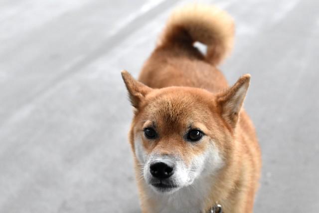 緊張してしっぽを振る犬