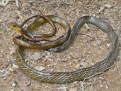 Chironius exoletus