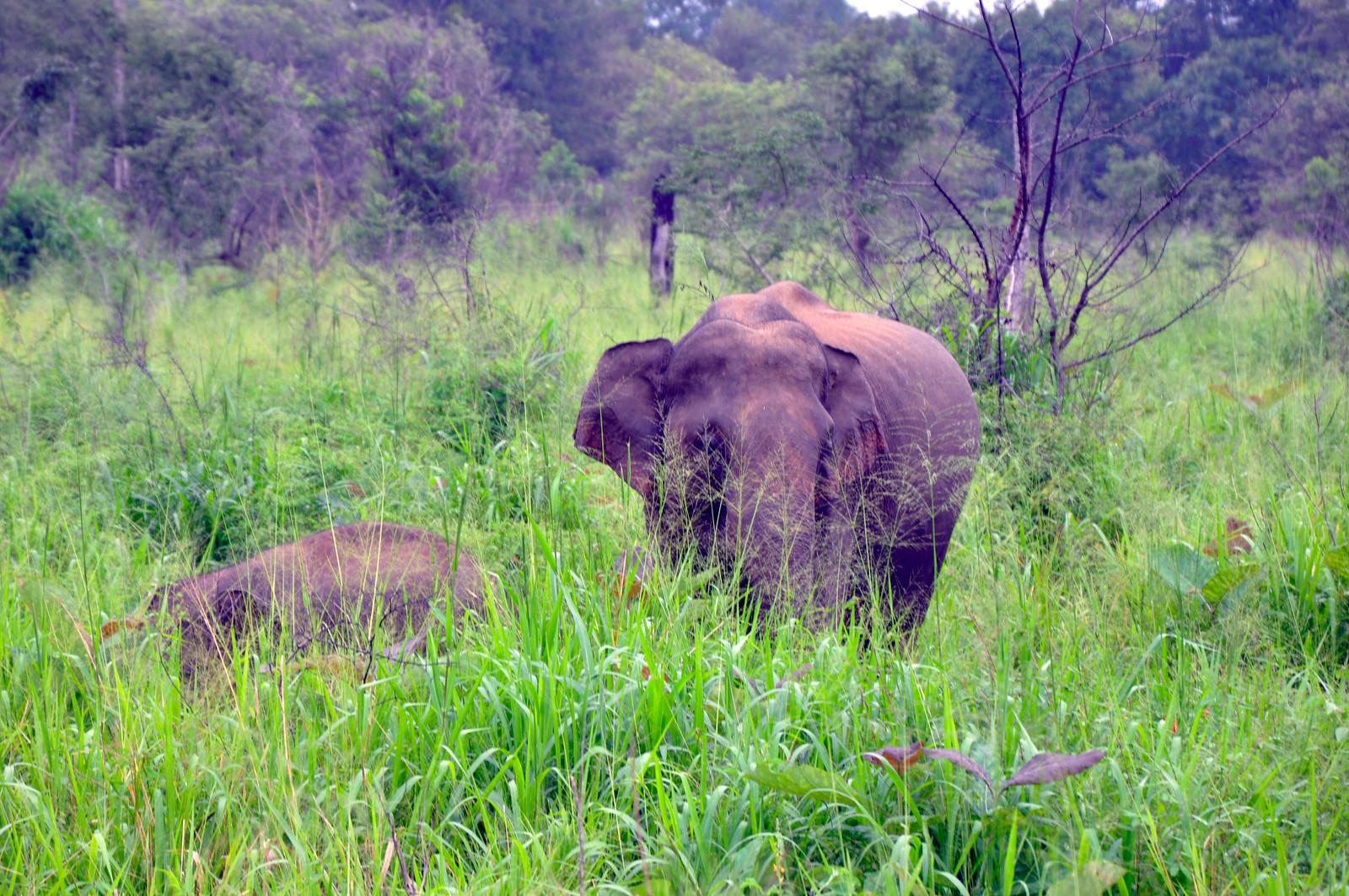 VER ELEFANTES SALVAJES EN SRI LANKA ver elefantes salvajes en sri lanka - 40009433523 29e8e9229e h - Ver elefantes salvajes en Sri Lanka