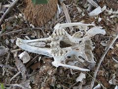 European Rabbit Skull