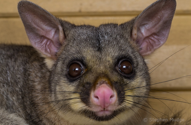 Brushtail Possum on our deck #2
