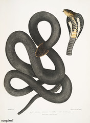Black Cobra Capella (Naia tripudians) from Illustrations of Indian zoology (1830-1834) by John Edward Gray (1800-1875). Original from The New York Public Library. Digitally enhanced by rawpixel.
