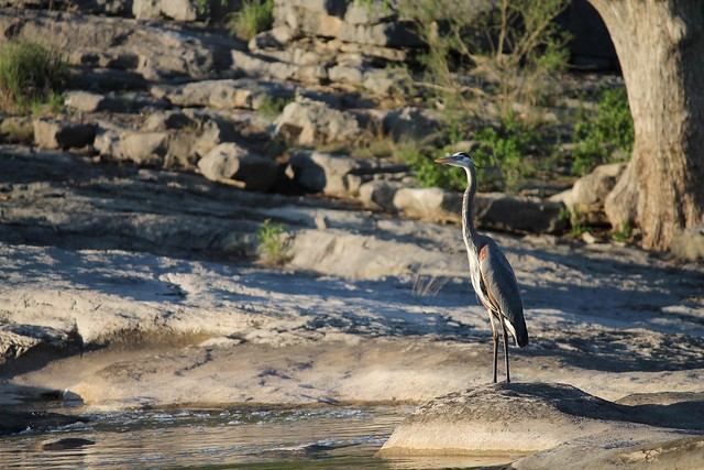 Heron at Pedernales Falls, Canon EOS REBEL T3, Canon EF-S 55-250mm f/4-5.6 IS II