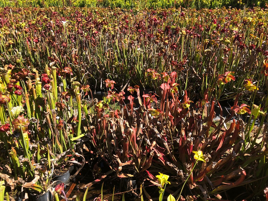 Sarracenia beds; Strange World Carnivores collection, NSW.