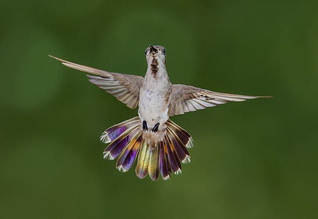 Juvenile Ruby Topaz Hummingbird, Nikon D4S, Sigma Macro 50mm F2.8 EX DG