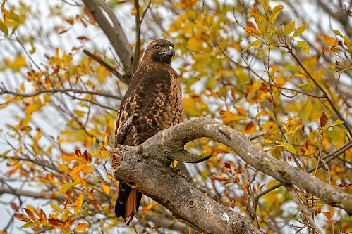 Hawk in Tree #128 | by lennycarl08