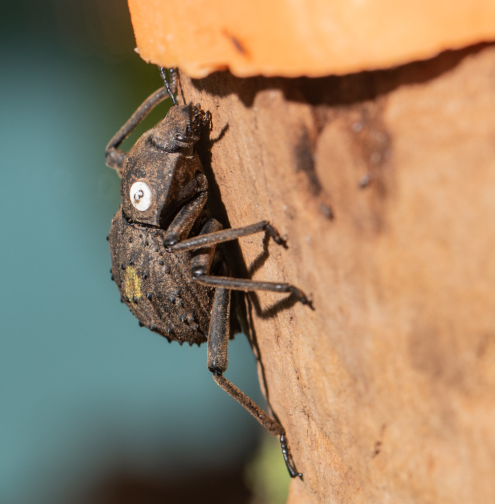 Fregate Island Palm Beetle_2