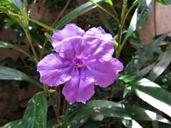 Flor lilás - Itaipú - Niteroi.