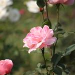 Pink Rose at Garden