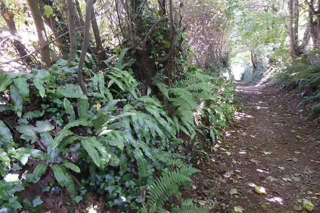 Ferns growing along Fishchowter's Lane