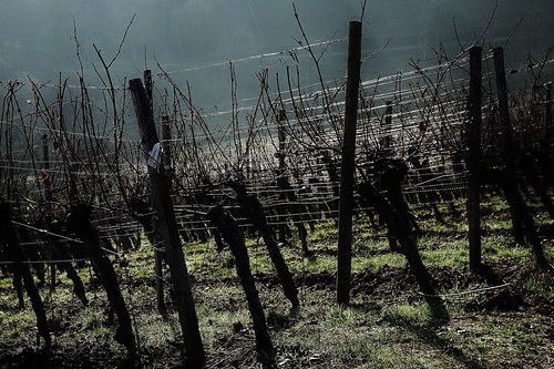 Gegenlicht in einem Weinberg - Backlight in a vineyard