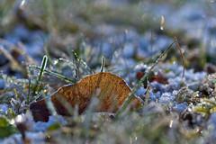 Leaf in Frozen Grass