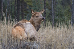 North American Elk - Calf