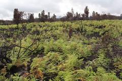 Pteridium aquilinum regeneration after the Mauna Loa Strip Road fire