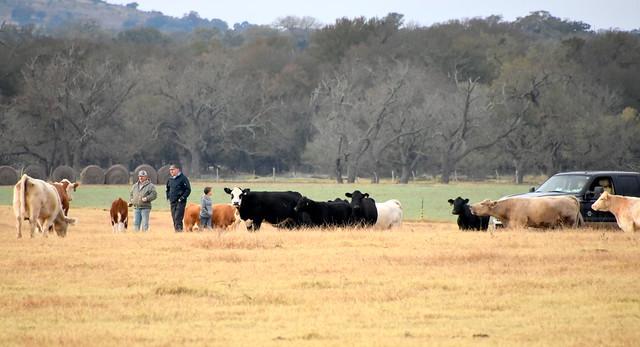 Checking on the cattle, Nikon D7200, AF-S DX Nikkor 18-300mm f/3.5-6.3G ED VR