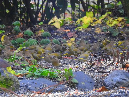 Grünfinken beim Frühstück