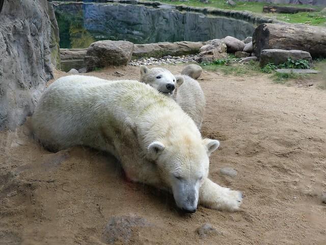 Eisbär Lara und Nanook