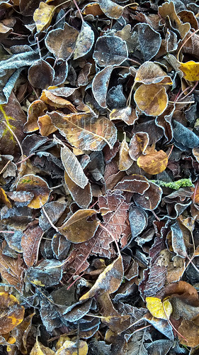 Autumn leaves covered in frost.