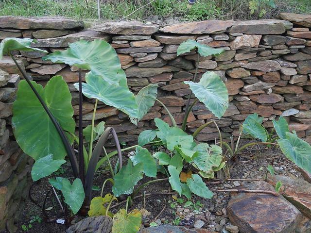 Colocasia esculenta - taro - Page 11 32049238268_8a37f46b06_z