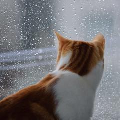 Pinto ollando a chuvia