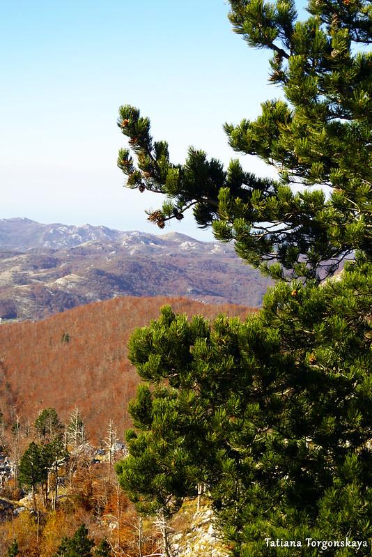 Горный пейзаж с сосной