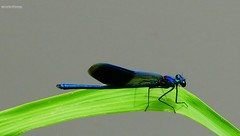 Calopteryx splendens 4 - Photo of Pacé