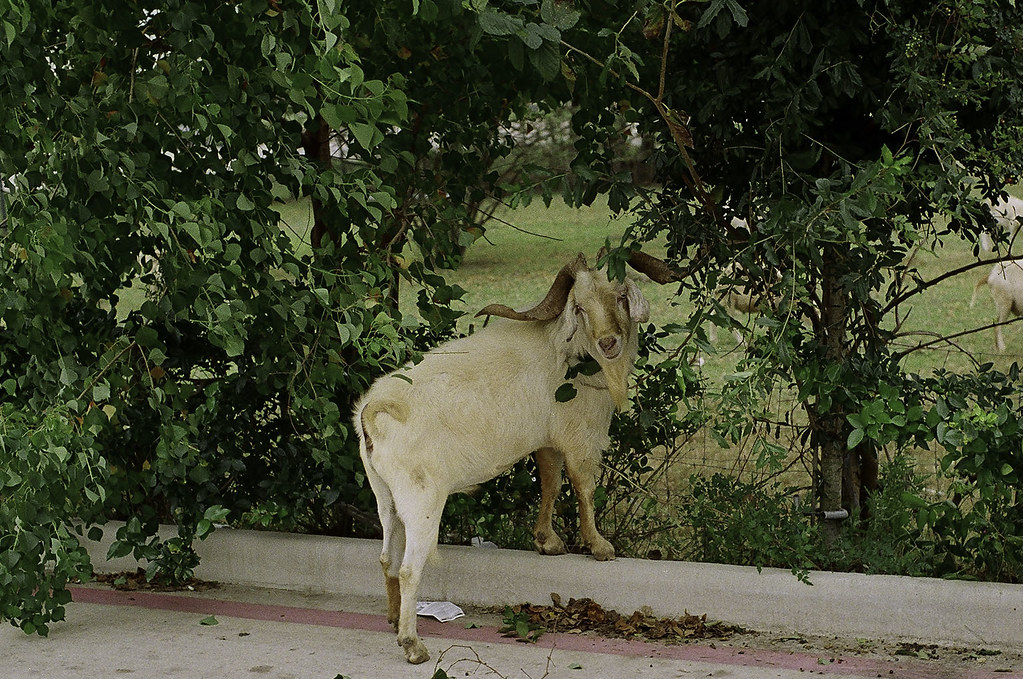 goat_76690023