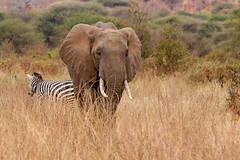 Elephant and Zebra