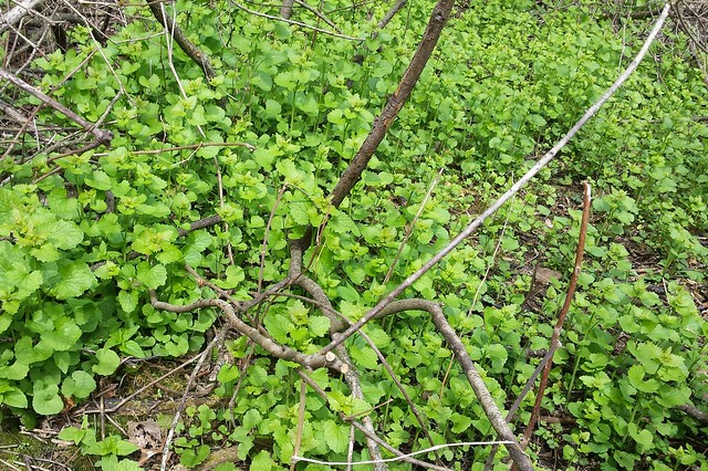 An area about 5 feet wide and 3 feet deep, filled with medium-height garlic mustard plants.