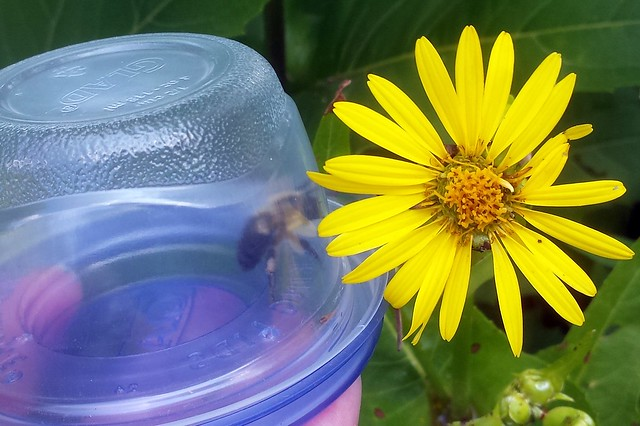 A bumble bee in a small upside-container next to a cup plant flower.