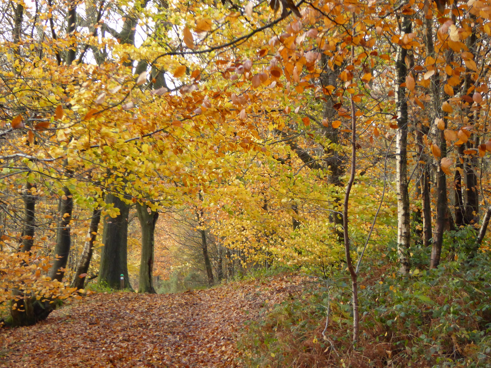 Beech colour, Leith Hill Holmwood to Shamley Green walk
