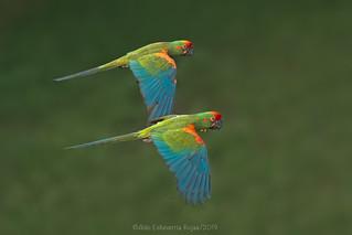 Red-fronted Macaw/Paraba frente roja (Ara rubrogenys)
